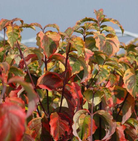 Cornus florida 39 rainbow 39 eurodogwoods - Cornus florida rainbow ...