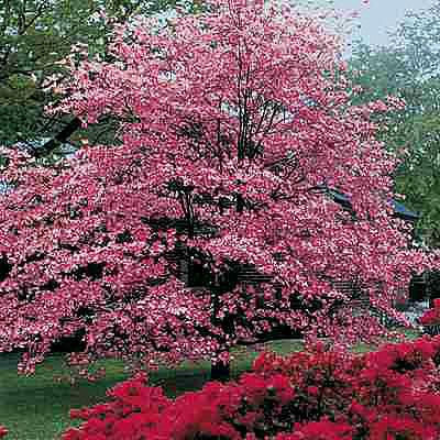 cornus florida 39 royal red 39 eurodogwoods. Black Bedroom Furniture Sets. Home Design Ideas